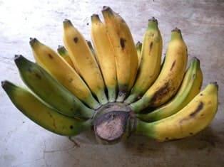 Pisang untuk membuat pisang goreng, namanya Pisang Raja (Musa textilia)