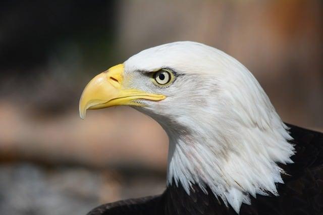 Gambar Burung Elang Mata Hadap Ke Kanan Putih-Hitam Paruh Kuning (Bald Eagle)